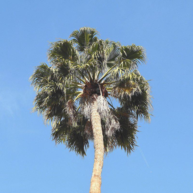 Palma s modrou oblohou