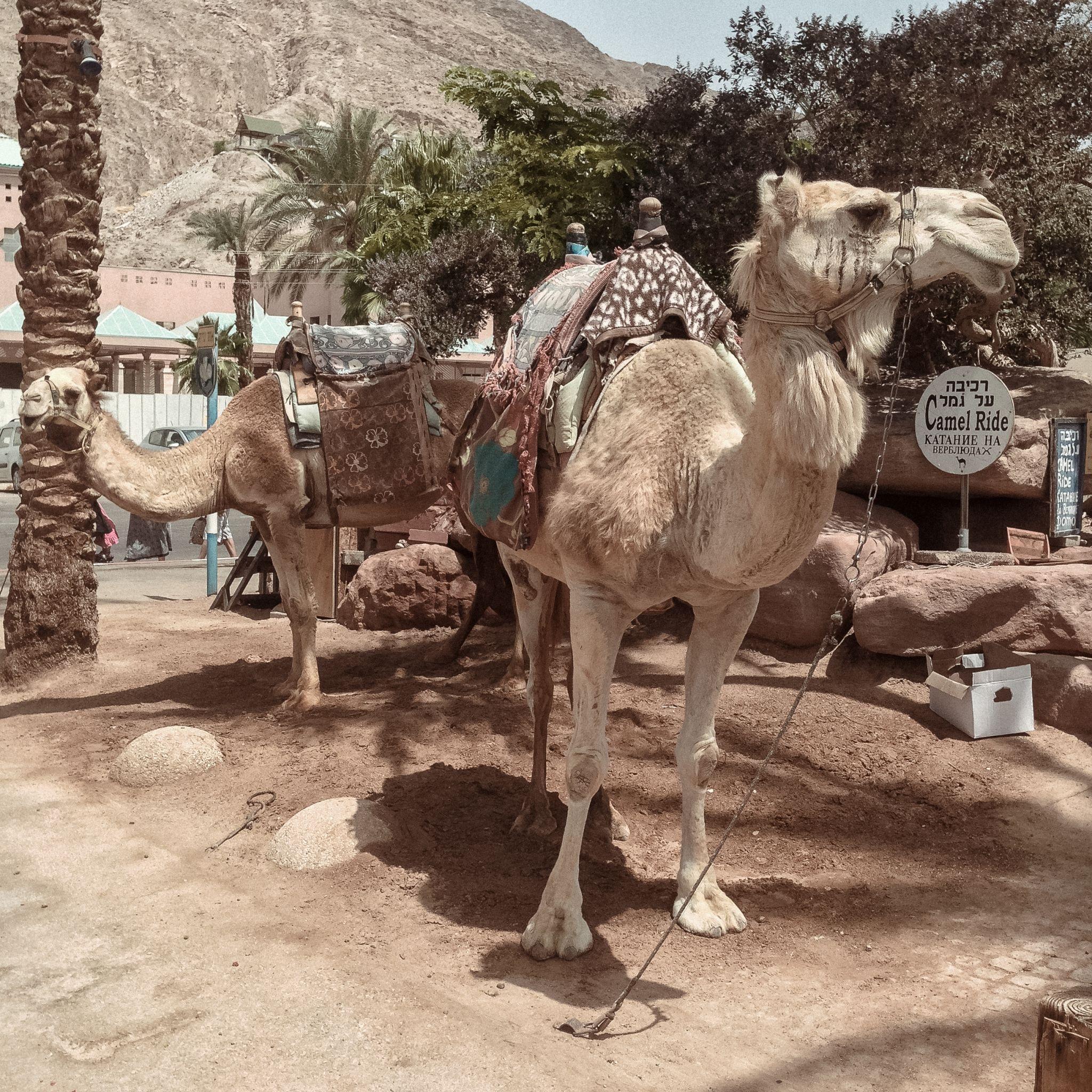 Camels Eilat Izrael