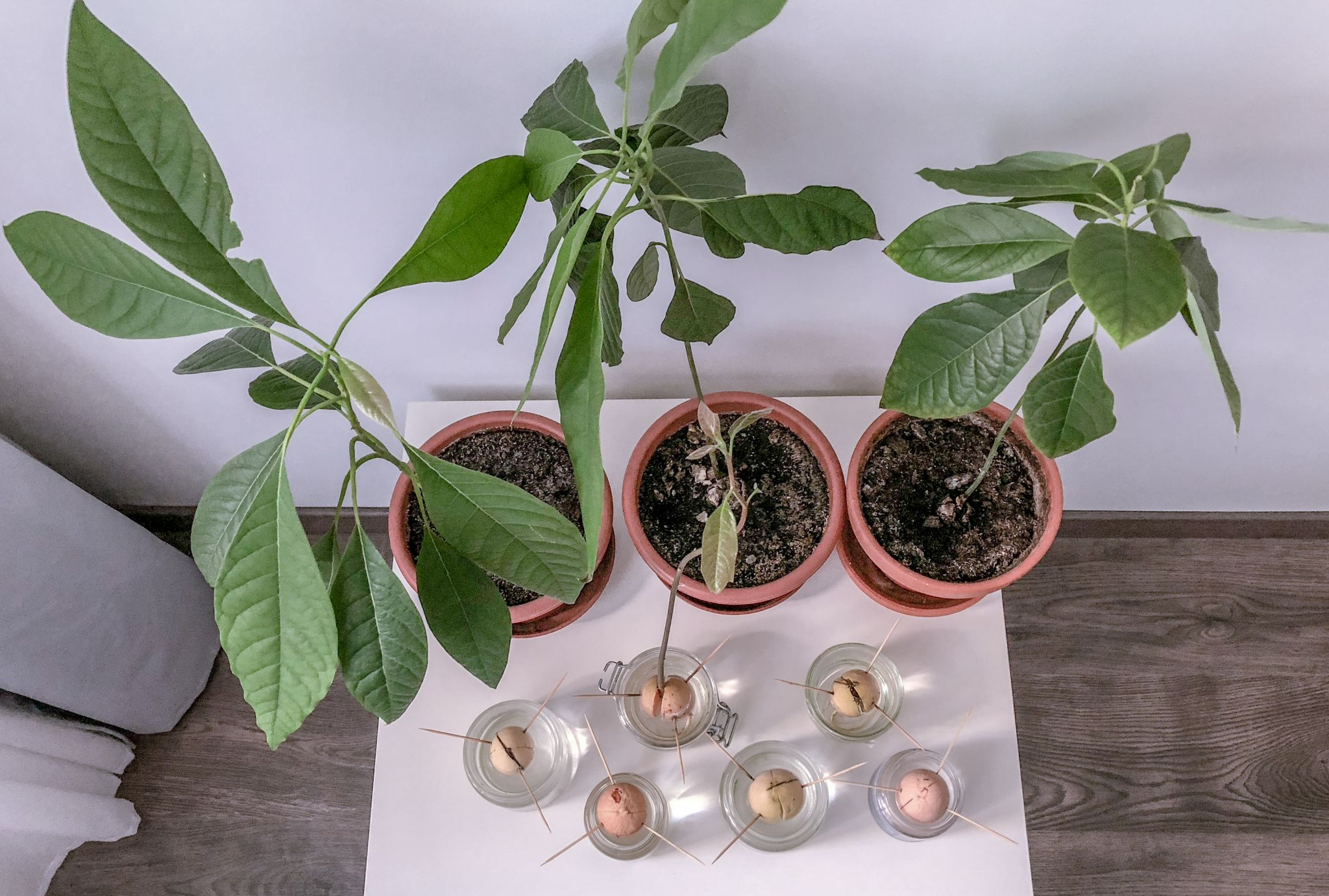 Keříky vypěstovaného avokáda